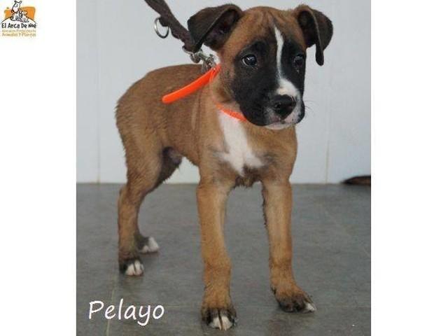 Pelayo Chiot Boxer A Adopter Dans La Region Ile De France