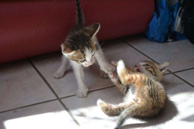 Petits Chatons Chaton Europeen A Adopter Dans La Region Languedoc Roussillon