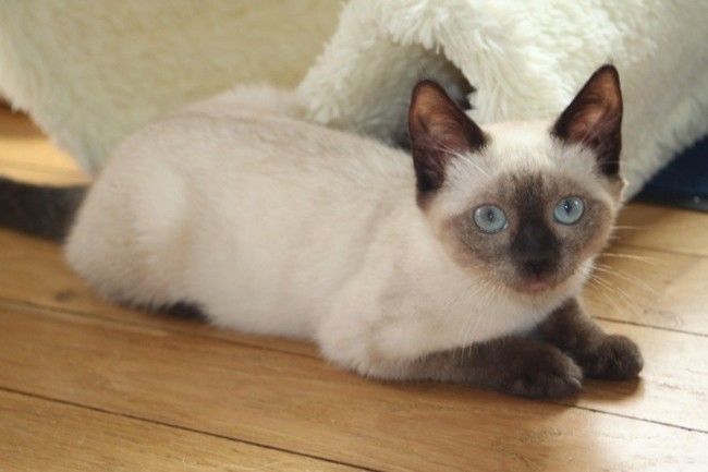 Amante Pam : chaton siamois à adopter dans la région Ile de France &KF_27