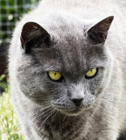 Adoption chat type chartreux