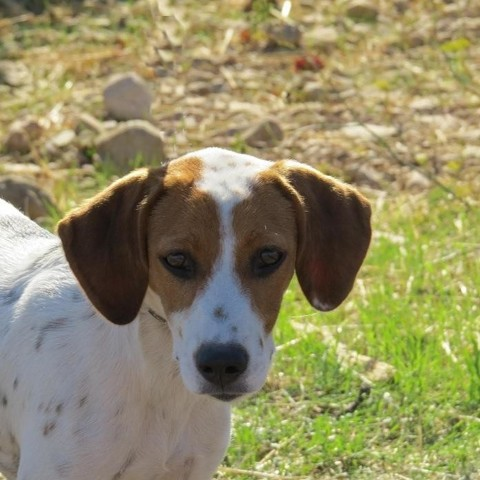 Yona chiot beagle adopter dans la r gion provence - Race chien volt ...
