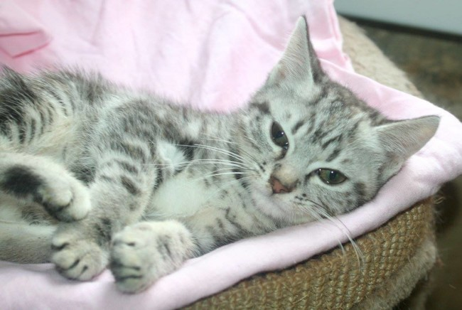 Tina Chatonne Tigre Gris De 3 Mois 1 2 Chaton A Adopter Dans La Region Ile De France