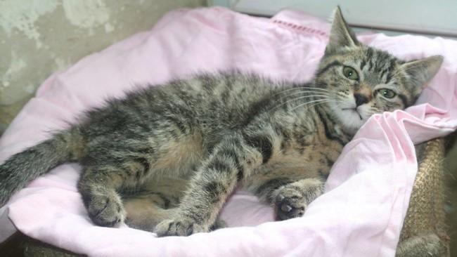 Tino Chaton Tigre Gris De 3 Mois 1 2 Chaton A Adopter Dans La Region Ile De France