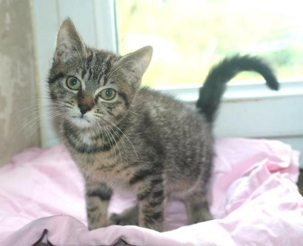 tino chaton tigr gris de 3 mois 1 2 chaton adopter dans la r gion ile de france. Black Bedroom Furniture Sets. Home Design Ideas
