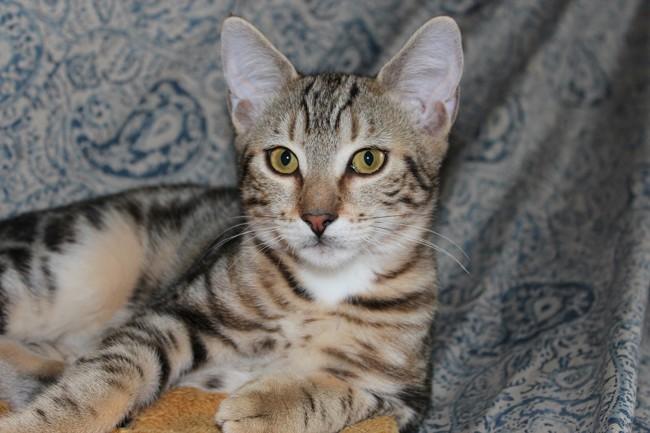 Adopter un chat de 8 semaines