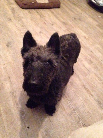 Venus Chien Scottish Terrier A Adopter Dans La Region Basse Normandie