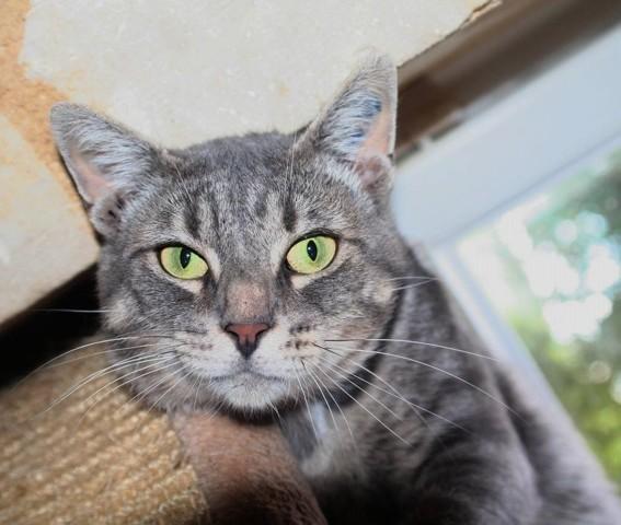 inouk chat tigr gris de 3 ans 1 2 chat adopter dans la r gion ile de france. Black Bedroom Furniture Sets. Home Design Ideas