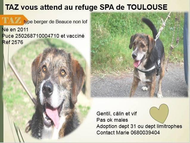 TAZz - x berger de beauce 8 ans (7 ans de refuge)  Spa de Toulouse (31) 353443-0