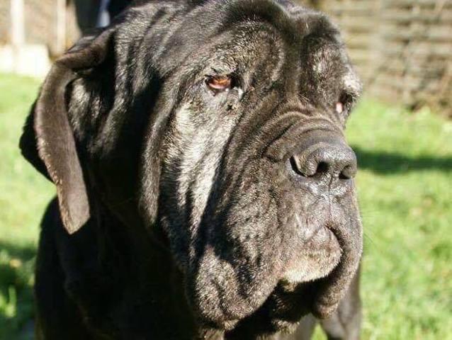 Feeling : chien mâtin napolitain à adopter dans la région