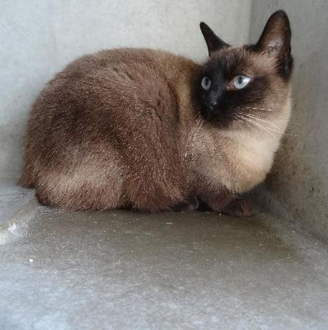 Poupette Chat Siamois A Adopter Dans La Region Rhone Alpes