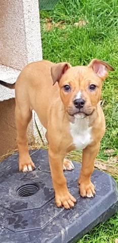 Niska Chiot American Staffordshire Terrier A Adopter Dans La Region Pays De La Loire