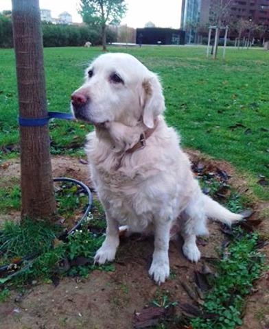 Adélie : chien golden retriever à adopter dans la région
