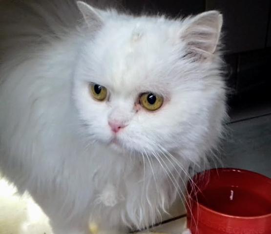 Sulli , type british longhair blanc  chat british longhair