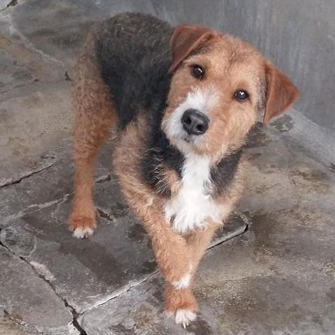 Voyou Chien Fox Terrier A Adopter Dans La Region Rhone Alpes