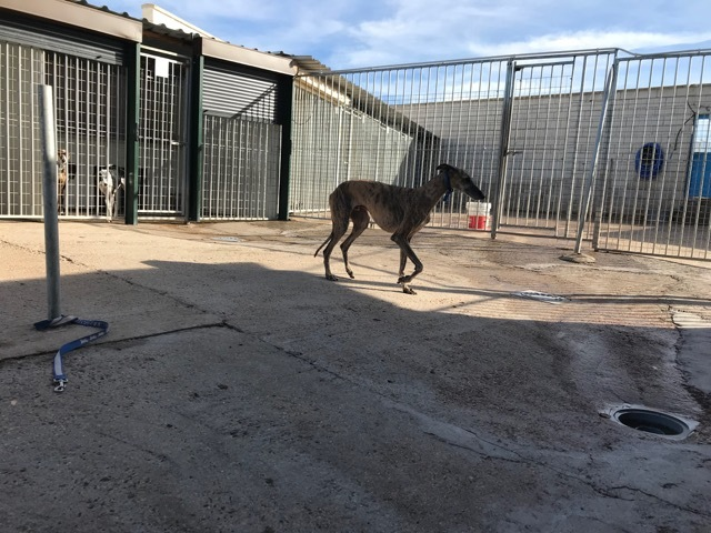 capuchino chien l vrier espagnol adopter dans la r gion franche comt. Black Bedroom Furniture Sets. Home Design Ideas