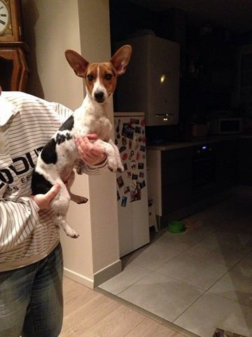 prune chiot jack russell terrier adopter dans la r gion haute normandie. Black Bedroom Furniture Sets. Home Design Ideas
