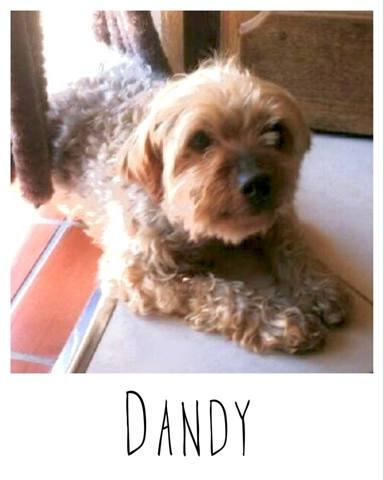 dandy chien yorkshire terrier europ en adopter dans la r gion provence alpes c te d 39 azur. Black Bedroom Furniture Sets. Home Design Ideas