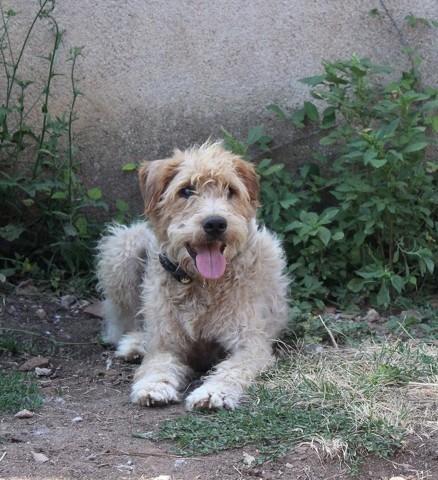 ANOKI - x fox terrier 4 ans - UMA à Bessais le Fromental (18) 383709-0