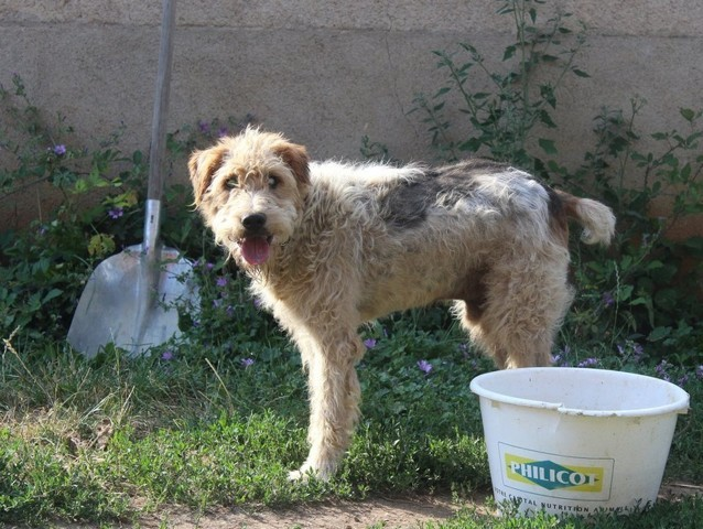 ANOKI - x fox terrier 4 ans - UMA à Bessais le Fromental (18) 383709-1