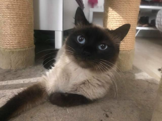 Mandy : chat siamois à adopter dans la région Rhône Alpes