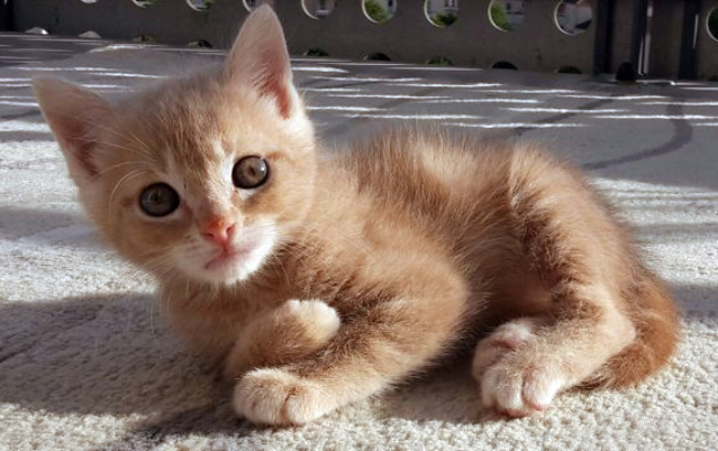 Don chaton roux