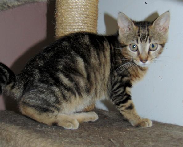 kaze chaton tigr de 3 mois 1 2 chaton adopter dans la r gion ile de france. Black Bedroom Furniture Sets. Home Design Ideas