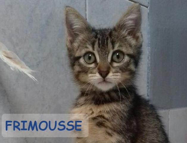 Frimousse Chaton Tigre Chaton A Adopter Dans La Region Ile De France