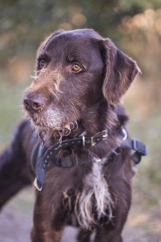 TINTIN - drahthaar brun 11 ans  (7 ans de refuge)  - Spa d'Autun (71) 394560-0