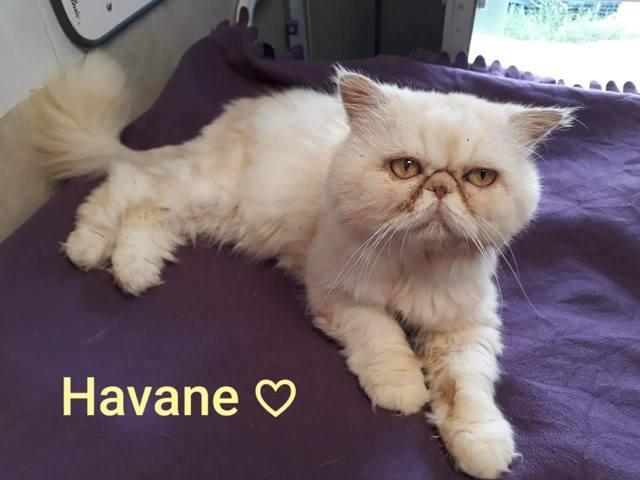 Havane Chat Persan A Adopter Dans La Region Midi Pyrenees
