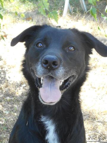 Arco : chien border collie, labrador retriever à adopter dans la