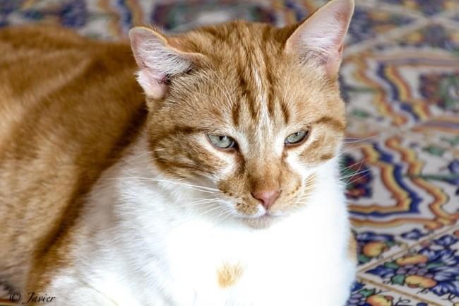 Tigre Chat A Adopter Dans La Region Ile De France