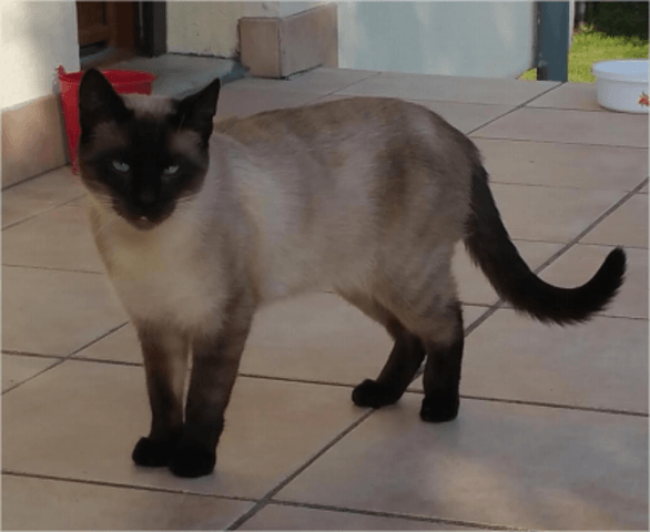 Filou Chat Siamois A Adopter Dans La Region Ile De France