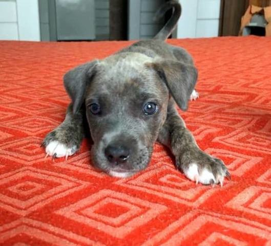 Pearl Chiot Femelle Croisee Creole Chiot A Adopter Dans La Region Rhone Alpes