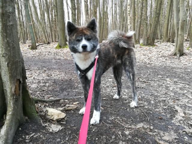 Yuki Chien Akita Inu A Adopter Dans La Region Ile De France