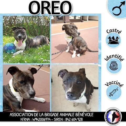 Oreo Croise Staffie Chien Staffordshire Bull Terrier A Adopter Dans La Region Ile De France