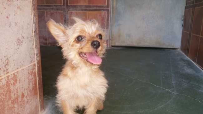 Kimy Chiot Chihuahua Yorkshire Terrier A Adopter Dans La Region Basse Normandie
