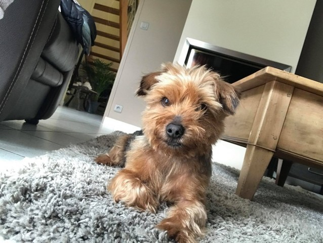 Filou Chien Yorkshire Terrier A Adopter Dans La Region Pays De La Loire