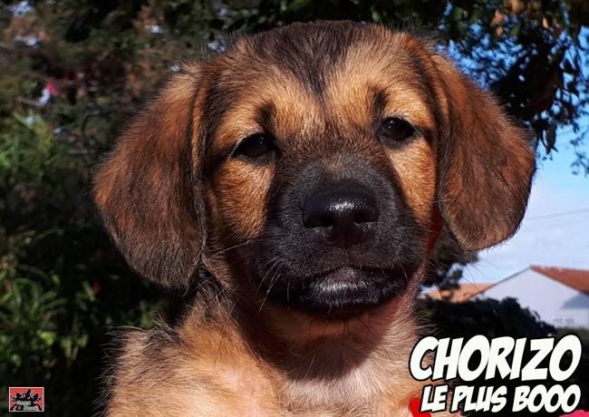 Chorizo Chiot A Adopter Dans La Region Poitou Charentes