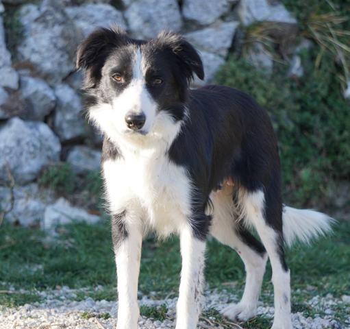 Lola Chiot Border Collie A Adopter Dans La Region Provence Alpes Cote D Azur