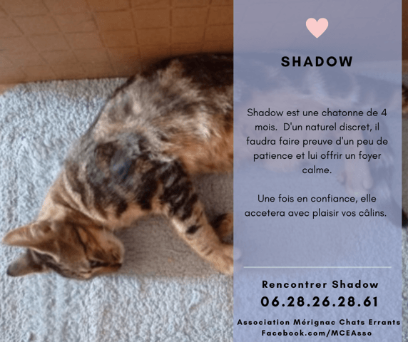 Shadow Chaton A Adopter Dans La Region Aquitaine