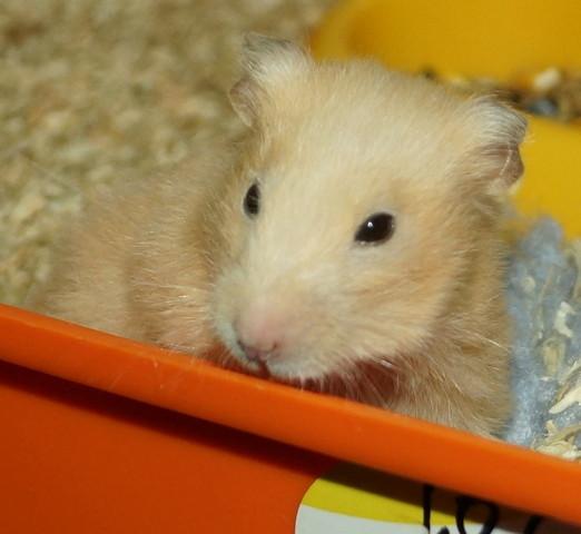 hamsters rongeur nac adopter dans la r gion ile de france. Black Bedroom Furniture Sets. Home Design Ideas