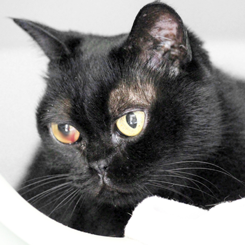 bombay chat A people-oriented breed, this cat is sweet, affectionate and curious the bombay enjoys playing fetch, going for leash walks and inventing entertainment.