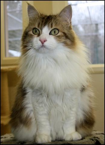 lady chat chat de maison angora adopter dans la r gion. Black Bedroom Furniture Sets. Home Design Ideas