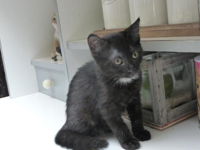 pepito chaton chat domestique poil court adopter dans la r gion nord pas de calais. Black Bedroom Furniture Sets. Home Design Ideas