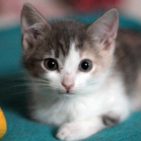 charline chaton chat domestique poil court adopter dans la r gion ile de france. Black Bedroom Furniture Sets. Home Design Ideas