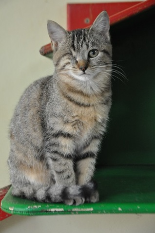 Lixana 4 mois reserv e chaton chat domestique poil - Chat qui perd pas ses poils ...