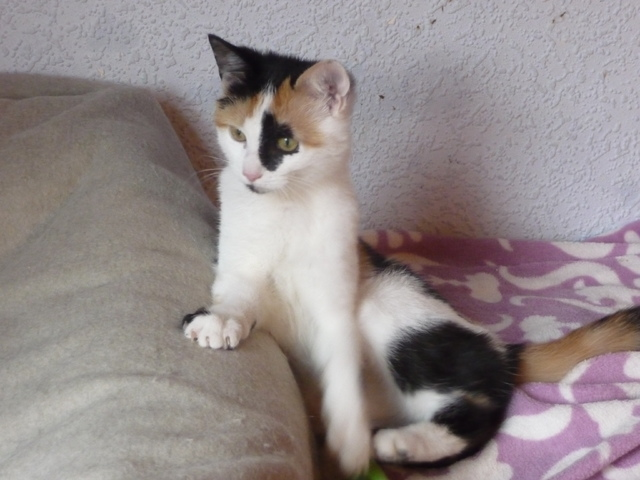 pricillia chaton chat domestique poil court adopter dans la r gion nord pas de calais. Black Bedroom Furniture Sets. Home Design Ideas