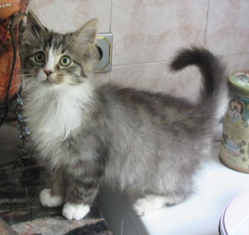 pollux chaton chat domestique poil mi long adopter dans la r gion nord pas de calais. Black Bedroom Furniture Sets. Home Design Ideas