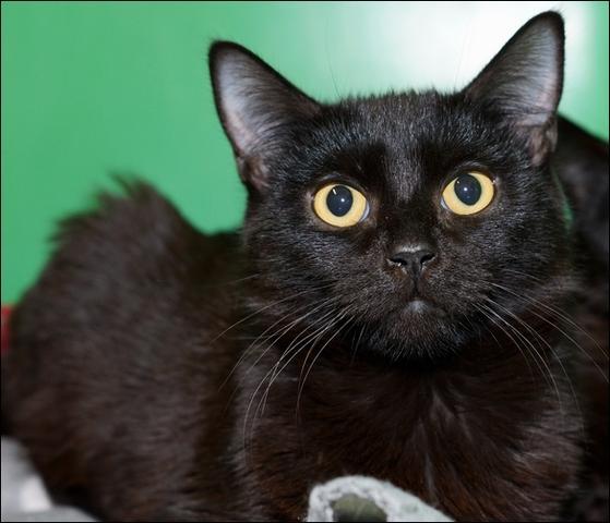 woopy et puce chaton chats communs adopter dans la r gion ile de france. Black Bedroom Furniture Sets. Home Design Ideas