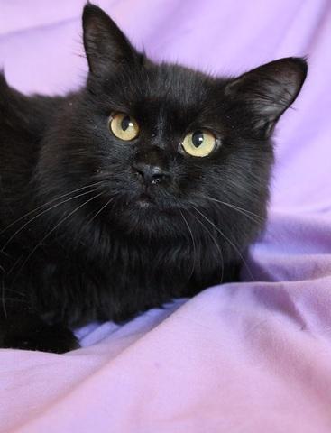 coquine chat crois 1 2 angora adopter dans la r gion ile de france. Black Bedroom Furniture Sets. Home Design Ideas